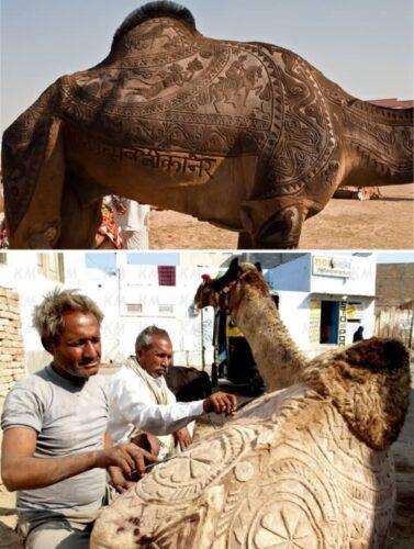 a99083_animal-canvas_1-camel