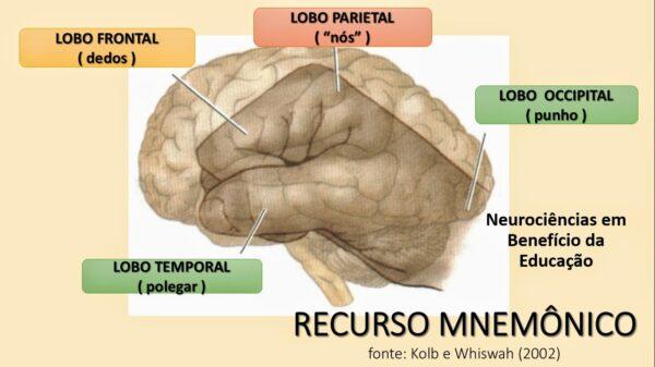 método mnemonico para estudar os lobos cerebrais