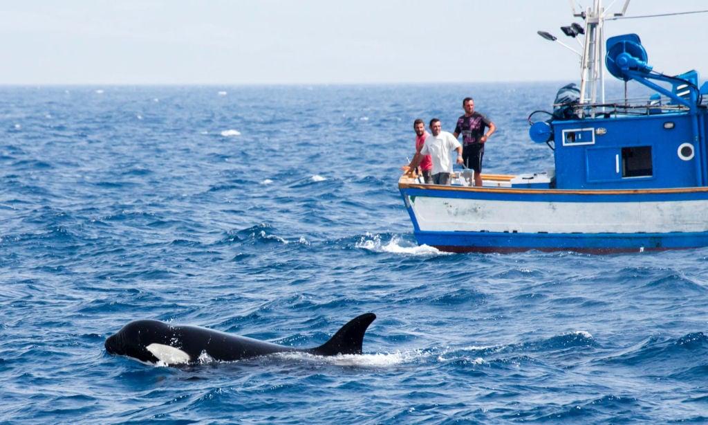 Gangue de baleias assassinas ferozes estão atacando barcos - O site mais completo de curiosidades da América Latina!